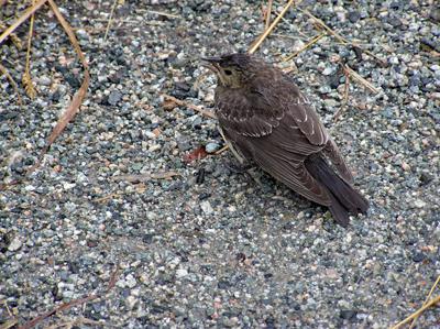 vancouverbird